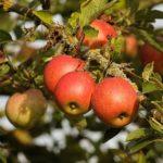 Uprawa jabłoni i gruszy